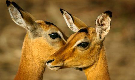 africa-animal-antelope-1109900.jpg