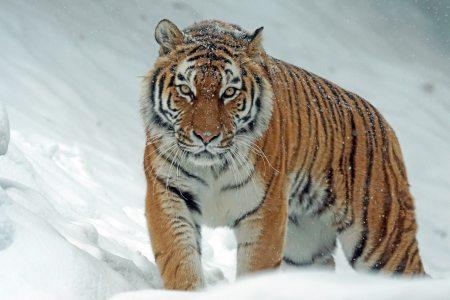 angry-animal-big-302304